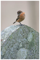 Stonechat on gravestone