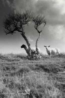 South Downs Sheep; Cuckmere Haven, East Sussex