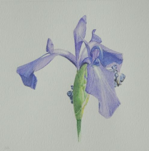 Iris Study: inktense: £ 60: 33x 33 cm
