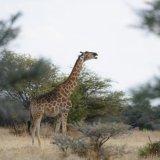 402-Giraffe