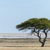 411-Kudde gnoes over Etosha zoutvlakte