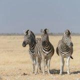 412-Burchell's zebra