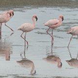 429-Flamingo's bij Walvisbay