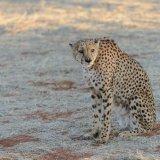 432-Cheetah