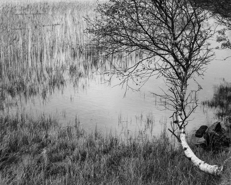 A gnarled sentinel stands guard over the Loch as its protects the reeds.  It has also protected me from my darkest thoughts as I sit and contemplate under its silver trunk