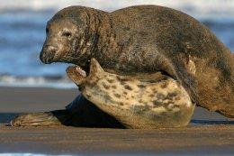 Grey seals