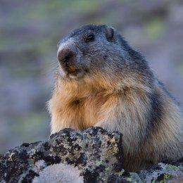 Alpine marmot