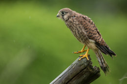 Little kestrel