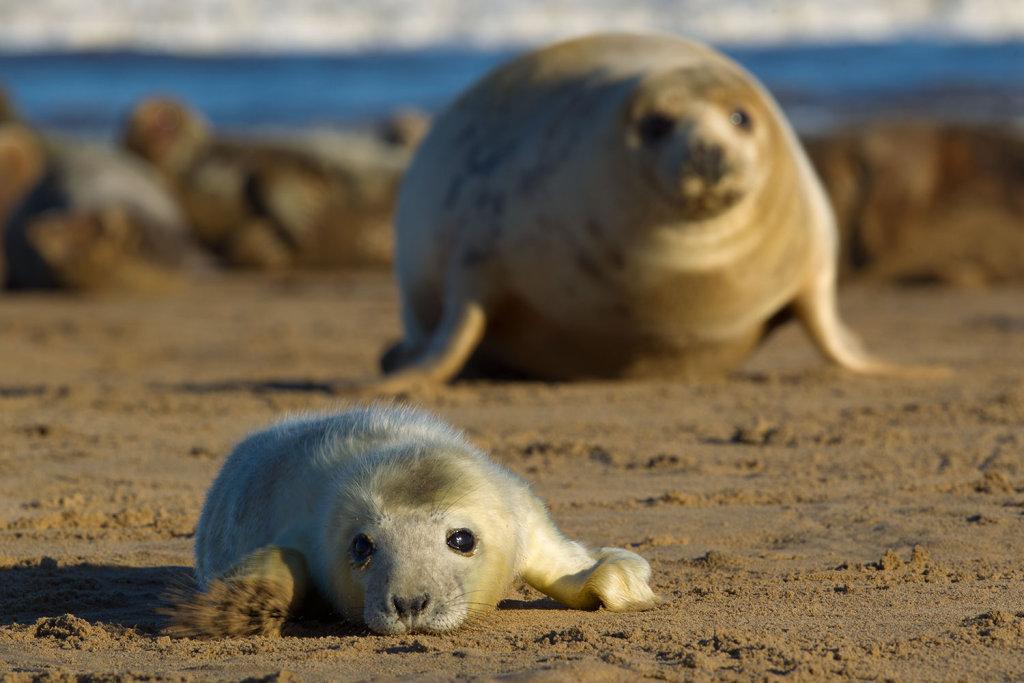 Grey seal