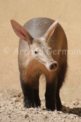 Aardvark Portrait