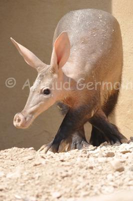 Cross Legged Aardvark