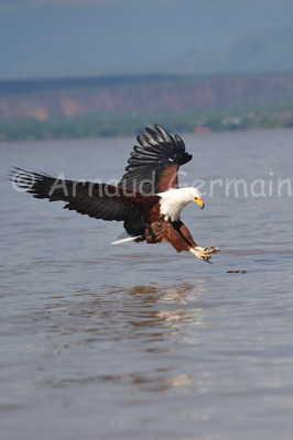 African Fish Eagle Catching Fish