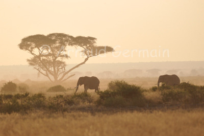 Amboseli Elephants in the Morning light
