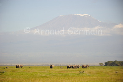 Herd of Elephants at the Foot of Kilimanjaro