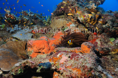 Red anemone and clown fish