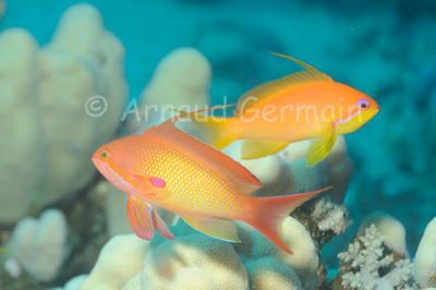 Male and Female anthias