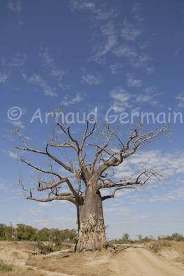 Big Baobab Under Cloudy Sky