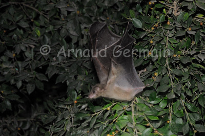 Fruit Bat Taking Off