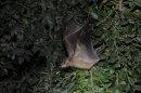 Fruit Bat Taking Off