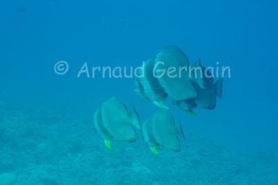 School of Longfin Batfish