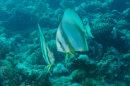 Circular Batfish