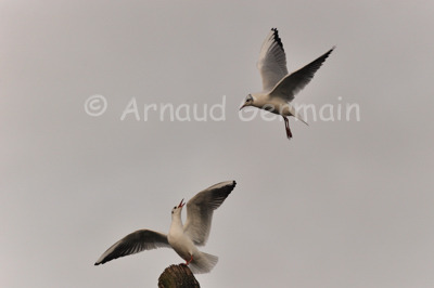 Black Headed Gull Fighting For Space