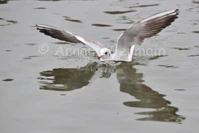 Black Headed Gull Crash Landing on Water