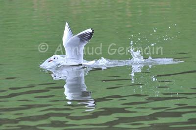 Black Headed Gull Landing