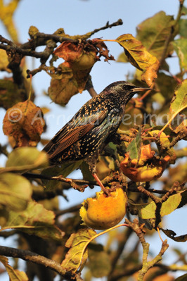 Starling Eating An Apple.