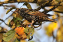 Starling and Apple