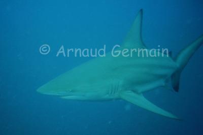 Blacktip Shark Portrait