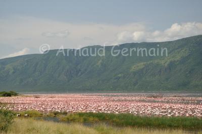 Flamingo colony in Lake Bogoria