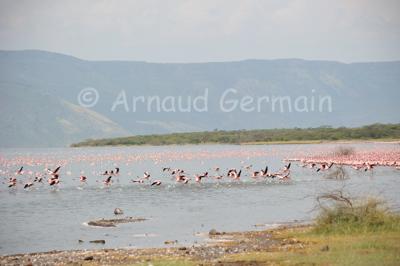 Flamingos in Lake Bogoria