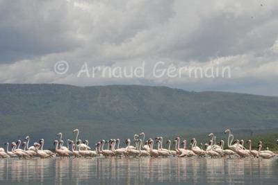 Lake Baringo's flamingos