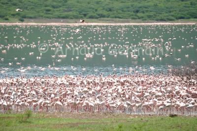 Lake Bogoria's Flamingo Colony.