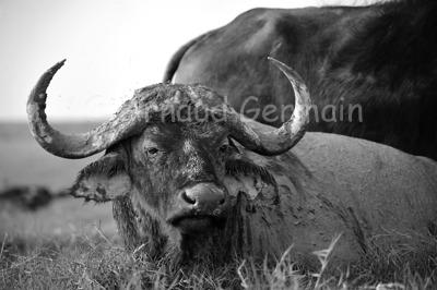 Black and White Buffalo Portrait