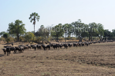 Buffalo Herd Going to Drink