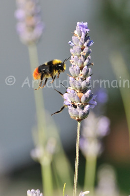 European Bumble Bee