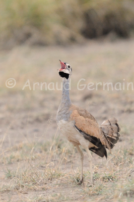 White Bellied Bustard Calling
