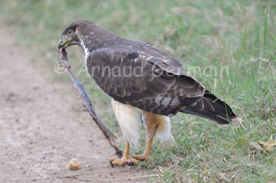 Augur Buzzard and Snake