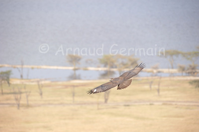 In Flight with an Augur Buzzard