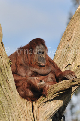 Orang-Utan on Tree Stump