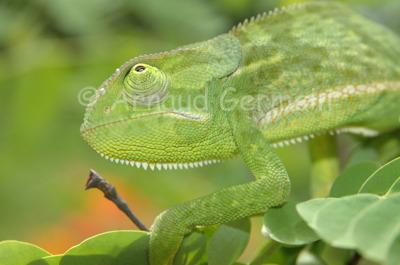 Chameleon Portrait
