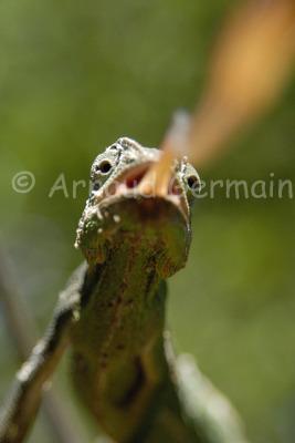 Chameleon Strike