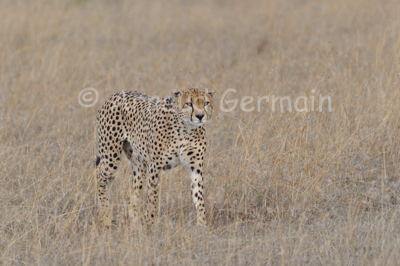 Cheetah in the Plain