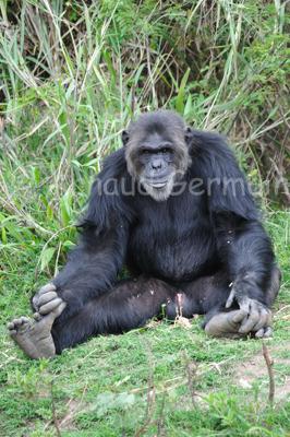 Niyonkuru the Chimpanzee