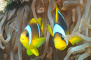 Clown Fish and Long Arm Cleaner Shrimp
