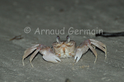 White Ghost Crab