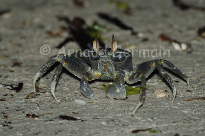 Blue Ghost Crab