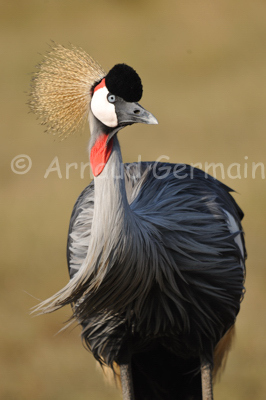 Crowned Crane Portrait